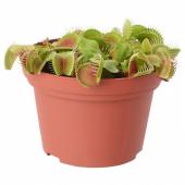 ГРЁНСКАН Растение в горшке, насекомоядное, различные растения, 12 см
