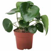 ПЕПЕРОМИЯ МНОГОКИСТЕВАЯ Растение в горшке, 12 см