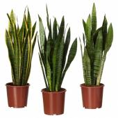 САНСЕВИЕРИЯ ТРИФАСЦИАТА Растение в горшке, Сансеверия трехполосая, 14 см