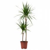 ДРАЦЕНА МАРГИНАТА Растение в горшке, Драцена окаймленная, 2 стебля, 19 см